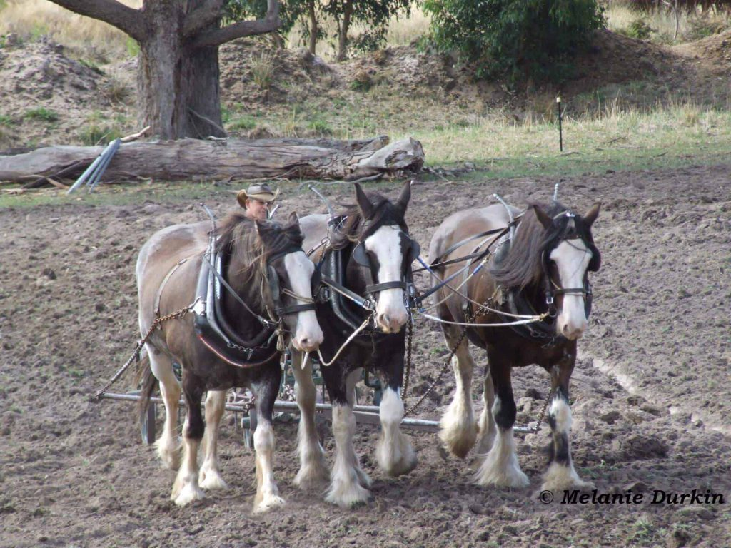 clydesdales working the land