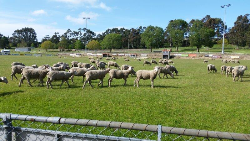 Sheep Dog Trials - sheep in paddock